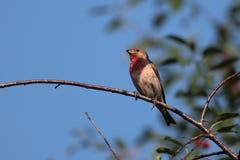 Rosefinch comum. Fotos de Stock