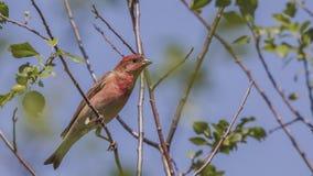Rosefinch comum masculino na árvore fotos de stock royalty free