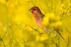 Rosefinch in geel Stock Foto