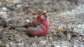 Rosefinch Long-tailed video d archivio