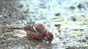 Rosefinch met lange staart