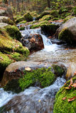 Rosefinch mountain stream Stock Image