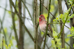 Rosefinch Stock Photo