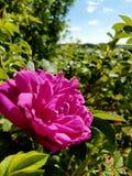 Rosegarden στοκ εικόνα με δικαίωμα ελεύθερης χρήσης