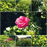 Rosegarden in autumn collage Stock Images