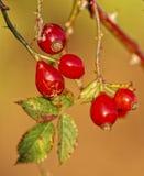 rosehibs одичалые Стоковые Фотографии RF