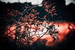 Rosehip έννοια φύσης του Μπους Στοκ εικόνες με δικαίωμα ελεύθερης χρήσης