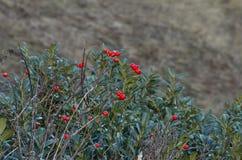 Rosehip μούρα βουνών σε έναν θάμνο πυξαριού Στοκ εικόνα με δικαίωμα ελεύθερης χρήσης
