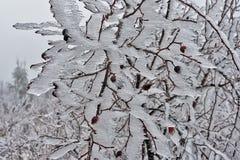Rosehip στον πάγο 02 Στοκ Εικόνες
