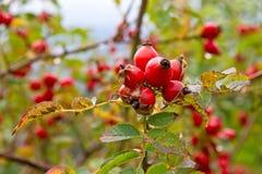 Rosehip το φθινόπωρο Στοκ Εικόνες