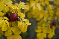 rosehip φθινοπώρου Στοκ εικόνες με δικαίωμα ελεύθερης χρήσης