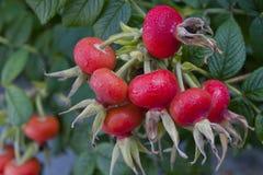 Rosehip φρούτα Στοκ φωτογραφίες με δικαίωμα ελεύθερης χρήσης