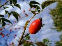 Rosehip foto de stock royalty free