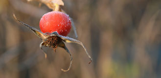 Rosehip. Against background out of focus Royalty Free Stock Photography