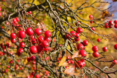 Rosehip Royalty Free Stock Photos