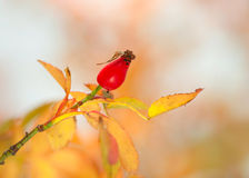 Rosehip in autumn Stock Photo
