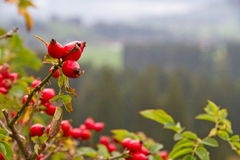 Rosehip in autumn Stock Image