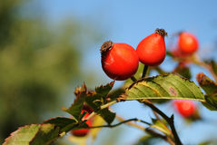 Rosehip berries on a beautiful background Royalty Free Stock Photography