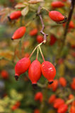 Rosehip berries. Branch with autumn rose hips stock photos