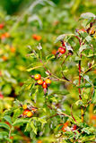 Rosehip berries on a bush Stock Photography