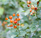 Rosehip berries in nature. Photo in nature Royalty Free Stock Photography