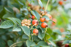 Rosehip berries in nature. Photo in nature Stock Image