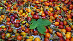 The rosehip berries. Photo of a rosehip berries, picked and scattered for drying Royalty Free Stock Image