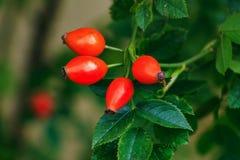 Rosehip berries Royalty Free Stock Photo