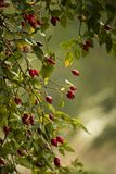 Rosehip berries. Red rosehip berries in the wood royalty free stock photography