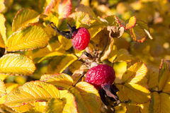 Rosehip berries on the twig Royalty Free Stock Image