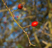 Rosehip berries. Two red rosehip berries on the branches Royalty Free Stock Photography