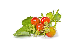 Rosehip berries. On white background Stock Photography