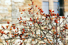 Rosehip Berries in Winter. Rosehip berries on the twigs in winter. Italy Stock Photography