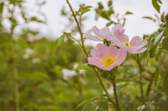 Rosehip blossom. Beautiful pink rosehip flower and green leaves Stock Images