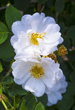 Rosehip branch. Flowers of dog-rose Royalty Free Stock Photos