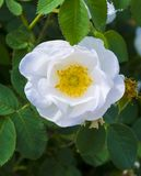 Rosehip branch. Flowers of dog-rose Royalty Free Stock Photography