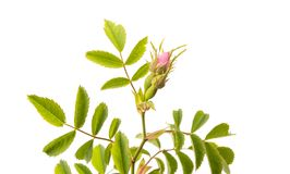 Rosehip branch with flowers isolated Stock Photo