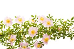 Rosehip branch with flowers isolated Royalty Free Stock Photos