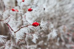 Rosehip branches covered with hoarfrost Stock Image