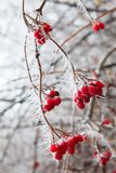 Rosehip branches covered with hoarfrost. Royalty Free Stock Image