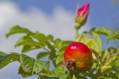 Rosehip bush Royalty Free Stock Image