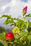 Rosehip bush Stock Photos
