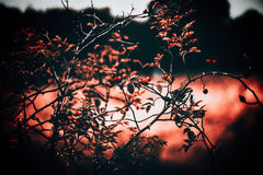 Rosehip Bush Nature Concept Royalty Free Stock Images