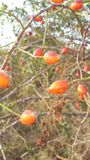 Rosehip. Bush on a nice autumn background at sunset Stock Photography