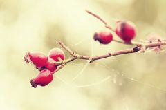Rosehip. And cobweb with dew drops Royalty Free Stock Images