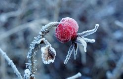 Rosehip covered with frost royalty free stock images