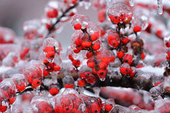 Rosehip covered with ice Royalty Free Stock Images