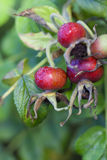 Rosehip - dew drops Royalty Free Stock Photo