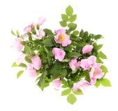 Rosehip flower Stock Photo
