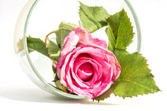 Rosehip flower in a glass Stock Images